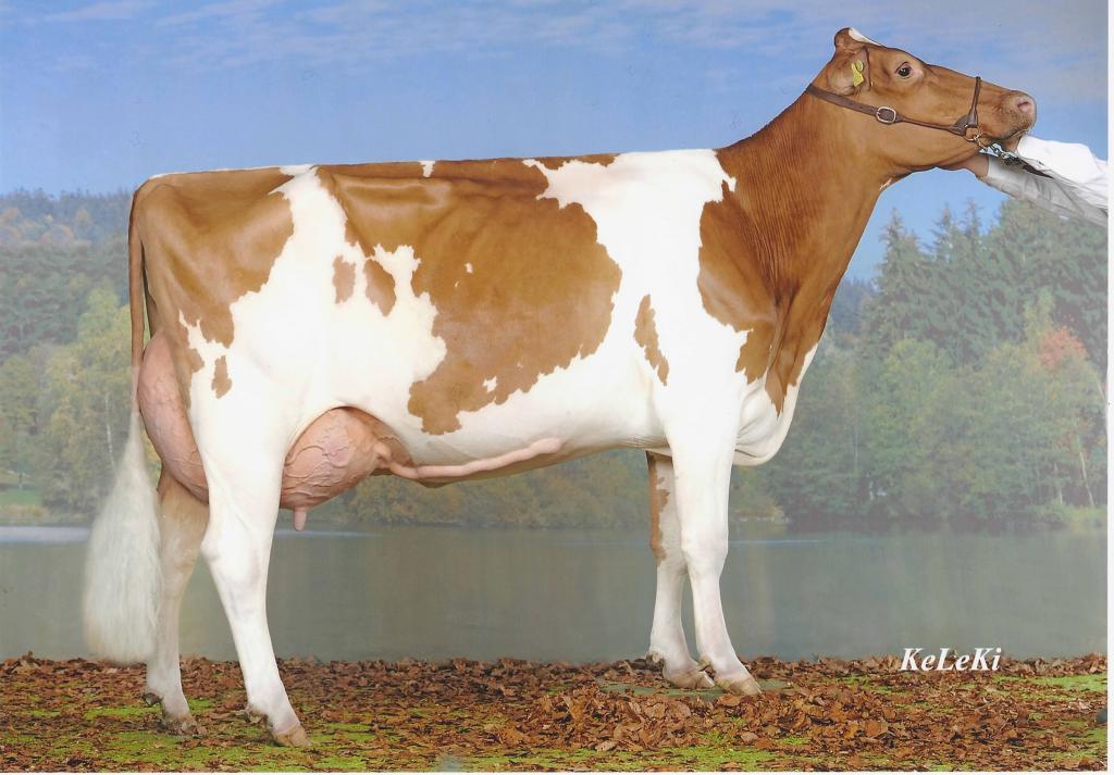 Siegsoleil VINCENT Bellaia Red EX-91, Switzerland 2-03 389 2x 8'663 kg 4,35% F 3,23% Prot. Champion RH Cow: Expo Jura Saignelégier, 2011 1st of cat. 7: Expo Bulle, 2011 2nd of cat. 8: Expo Bulle, 2012