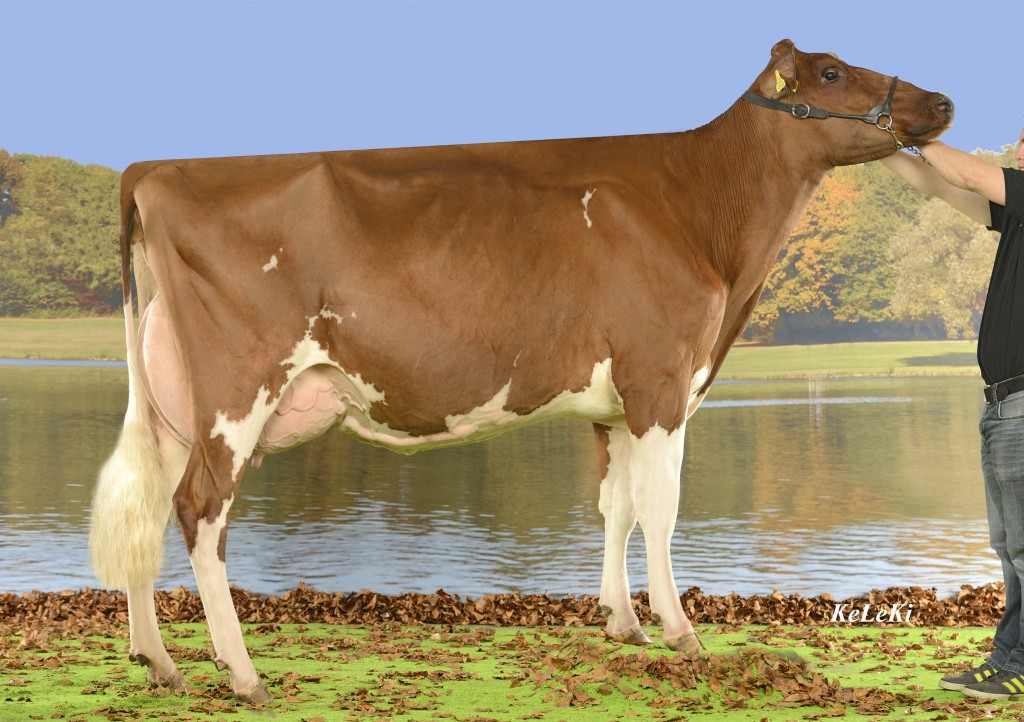 Ayer VINCENT Eloge Red 84 Pts. 2 years (VG-85 in udder) Eloge Red = VINCENT Red x Raby Red Height / Stature: 156 cm = 62 in