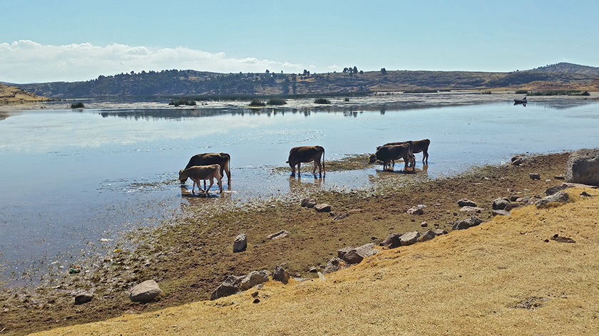 2015: Some Brown Swiss cows eating algae in Lake Titicaca Peru at 4'200 m
